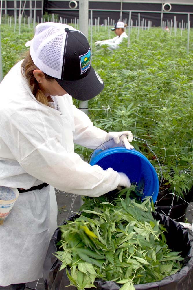 Worker harvesting plants