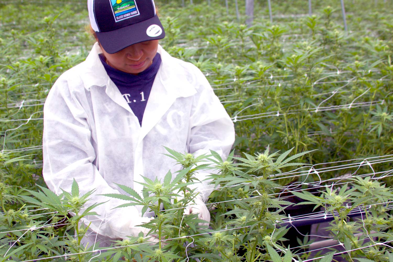 Worker trimming plants