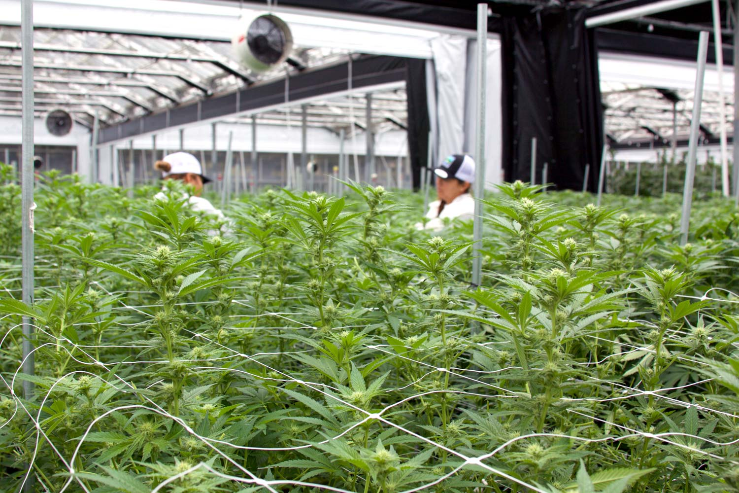 Workers in a field of plants